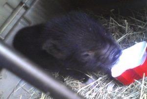 Miniature Pig Eating