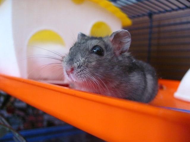 Average hamster pet cost breakdown
