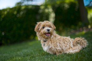 Maltipoo Puppies Cost