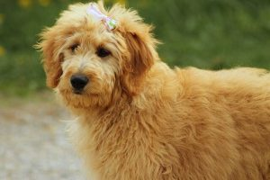 How Much Does A Goldendoodle Cost In 2020
